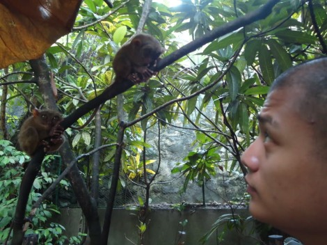 Staring contest with Tarsiers.