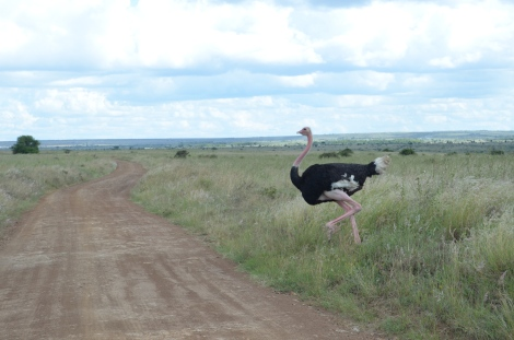 Ostriches.